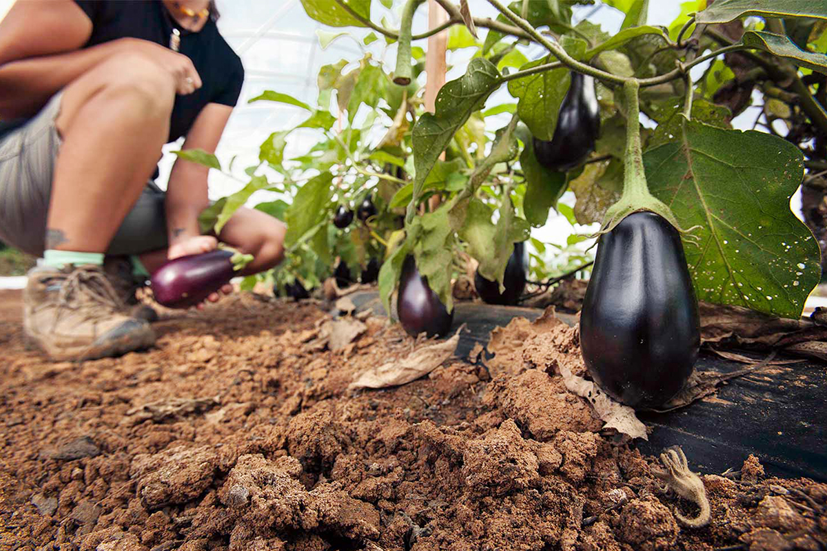A worker inspects and picks ripe eggplants in one of the Choctaw Fresh hoop houses. Photo: Charlie Goldblat.