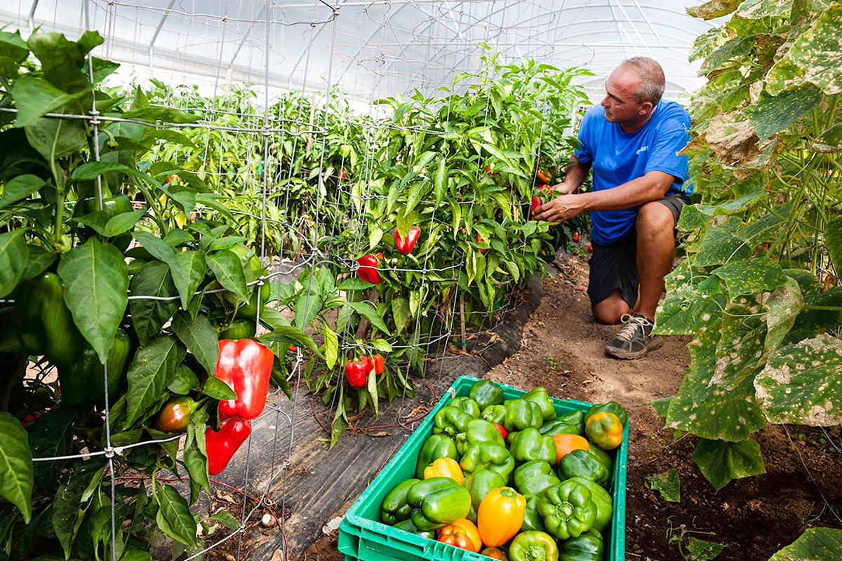 A man inspects and picks bell peppers, filling crates of produce which will then be distributed throughout the reservation. Photo: Charlie Goldblat.